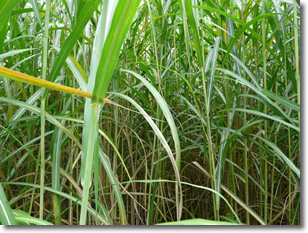 Miscanthus as a BioFuel